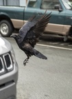 crow landing on Jeep