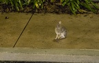 Rabbit on SSR sidewalk